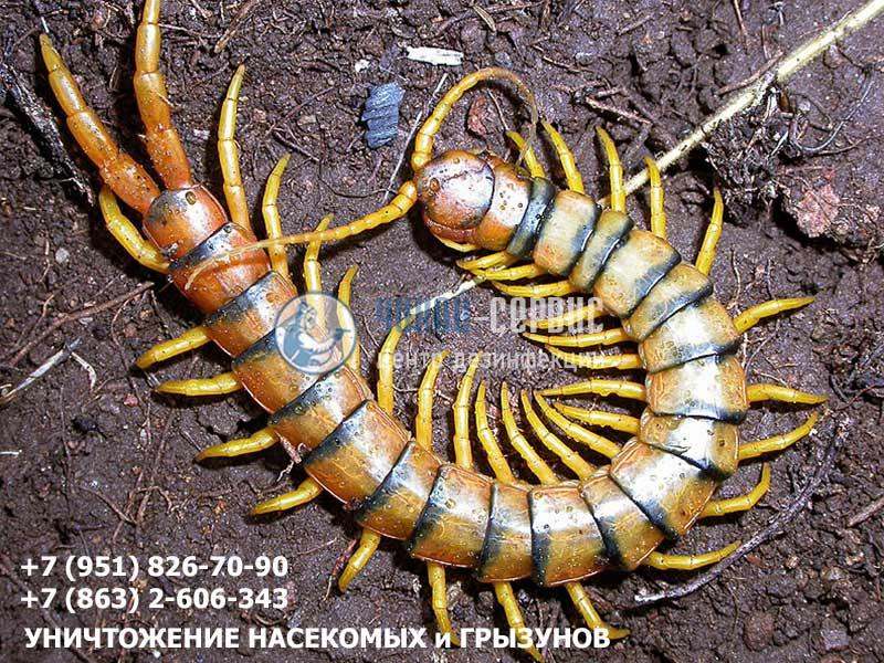 Как избавиться от сколопендр в Ростовской области